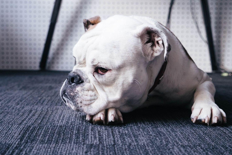 Comment guérir un chien anxieux ?