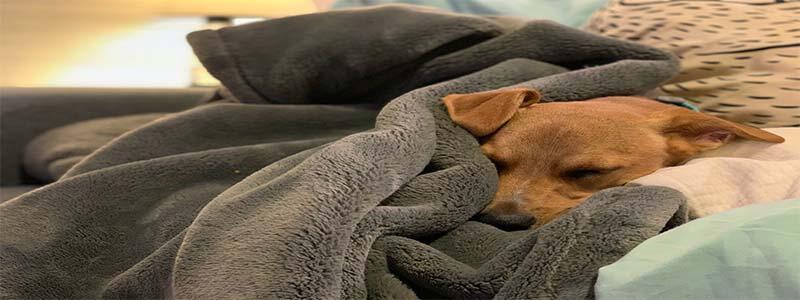 chien souffrant apnee du sommeil