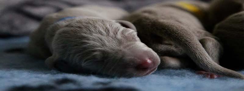 chiot souffrant apnee du sommeil
