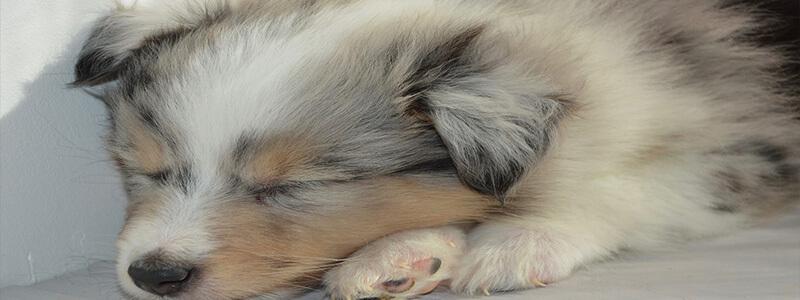 Causes de l'insomnie chez le chien